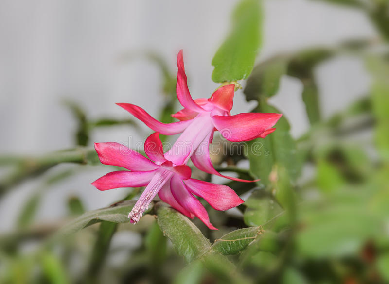 Pink Schlumbergera truncata flower, Christmas and Thanksgiving cactus. Craciunel royalty free stock image