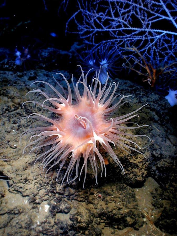 Pink Sea Creature Underwater Free Public Domain Cc0 Image