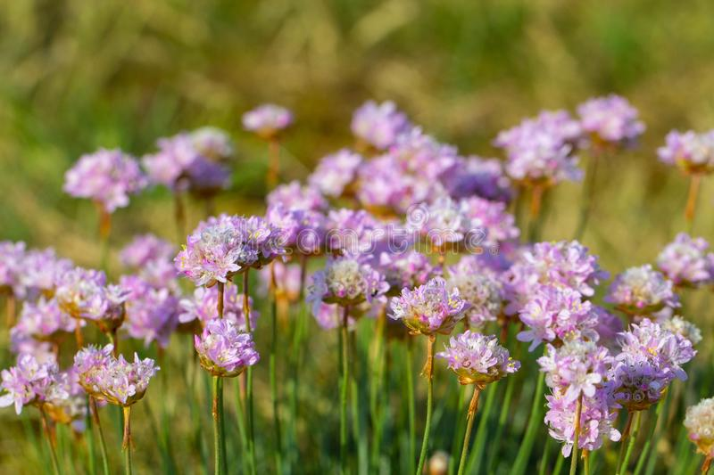 Pink sea thrift flowers royalty free stock photos