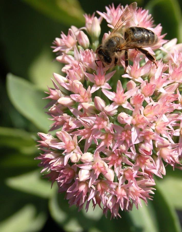 Pink sedum with bee stock photo