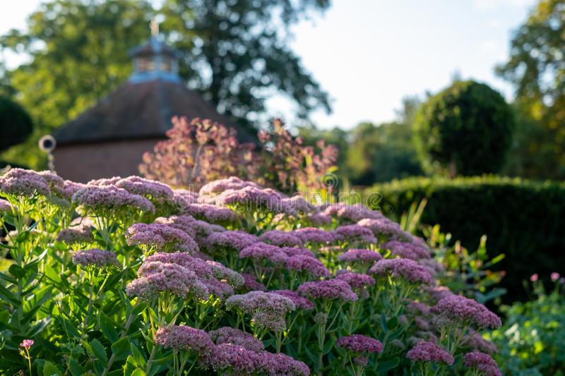 Pink sedum flowers reflecting the late afternoon sun in early autumn, at Eastcote House historic walled garden, Hillingdon, London. Pink sedum flowers reflecting stock photo