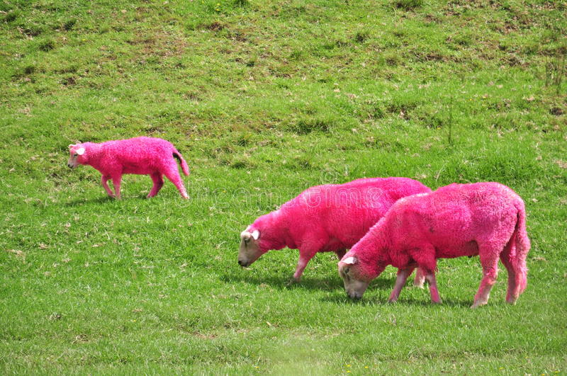 Pink sheep. Grazing in a New-Zealand farm stock photography