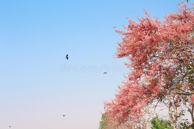 Pink Shower or Cassia grandis tree on bright blue sky background with Asian openbill bird flying. Close up Pink Shower or Cassia grandis tree on bright blue sky royalty free stock image