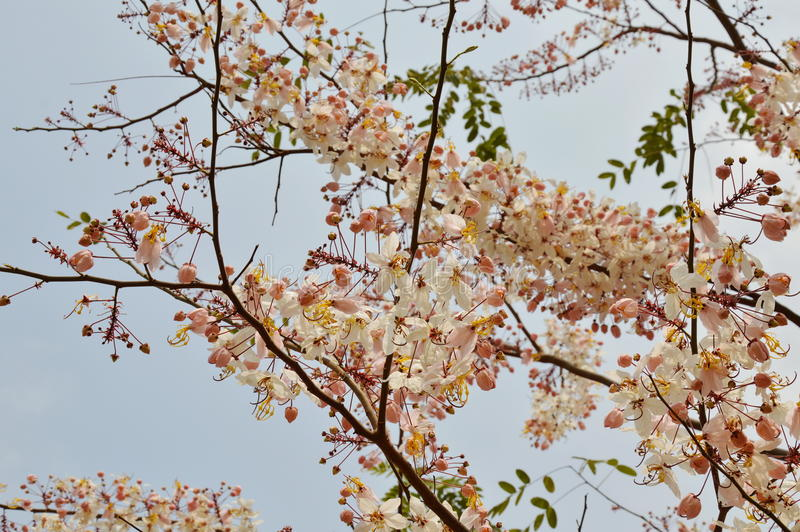 Pink shower flower or wishing tree tropical plant blooming in garden stock image