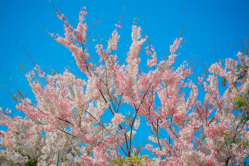 Pink shower tree on blue sky stock image