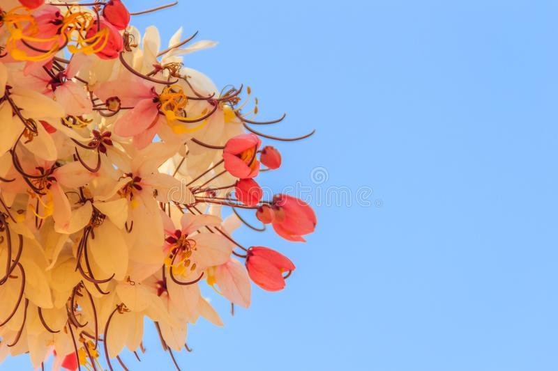 Pink shower tree flowers (Cassia bakeriana) on blue sky background. Cassia bakeriana, commonly called Wishing Tree, Pink Shower, i royalty free stock image