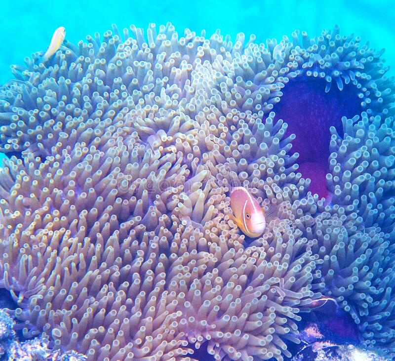 Pink skunk clownfish hiding in sea anemone royalty free stock photography