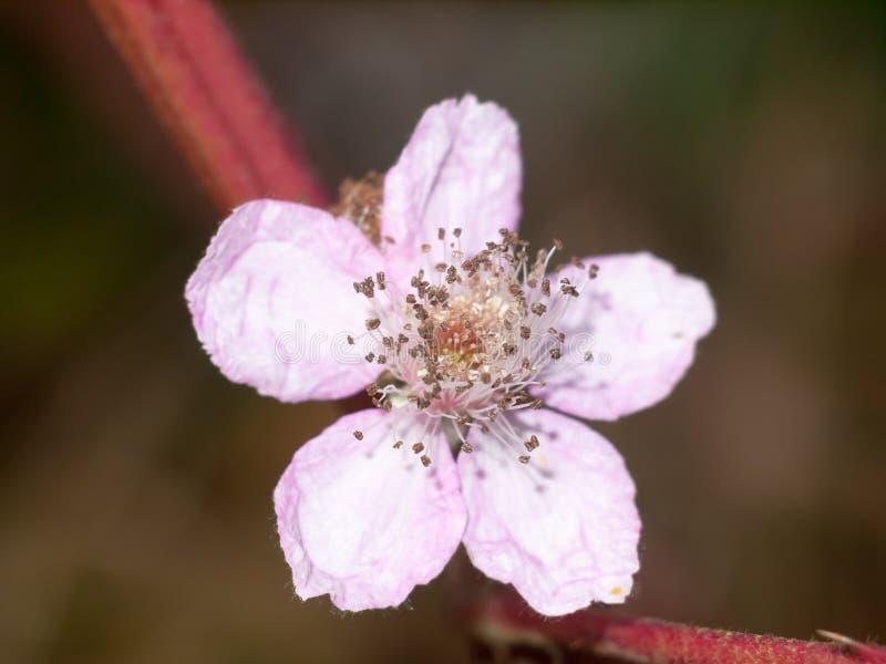 Pink small bramble flower up close detail macro. Essex; england; uk stock photo