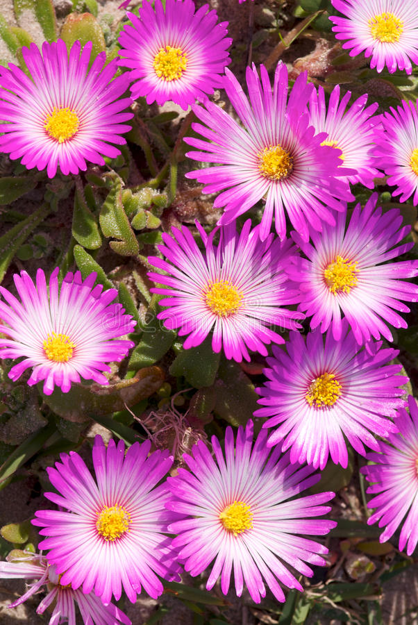 Pink South African Vygie flowers royalty free stock photo