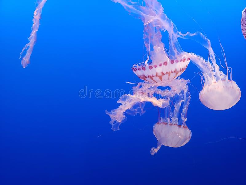 Pink spotted jellyfish stock image