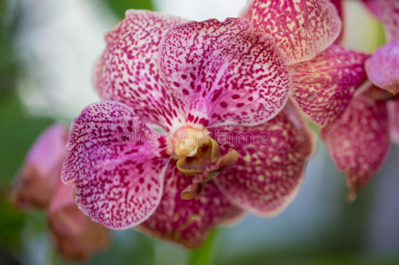 Pink Spotted Orchid stock photo