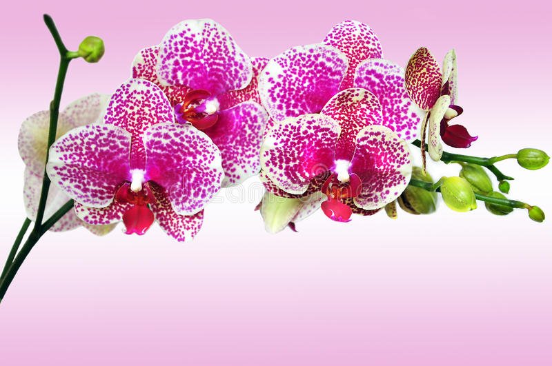 Pink spotted orchid phalenopsis stock images