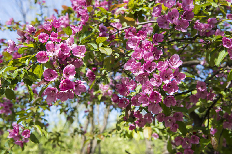 Pink spring blossoms. Beautiful vibrant pink blossoms on tree in botanical garden stock photo