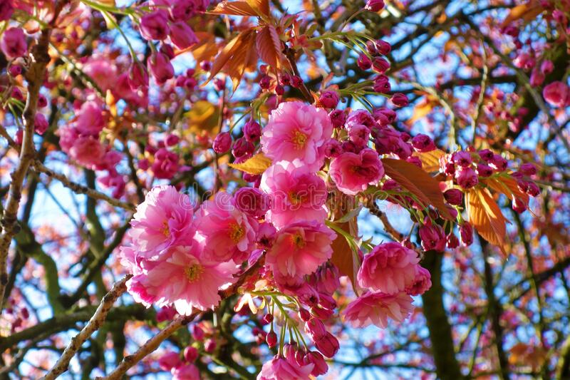 Pink Spring cherry blossom against a blue sky. royalty free stock photo