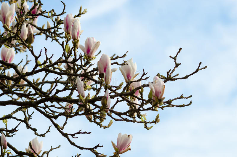 Magnolia tree flowers stock photo