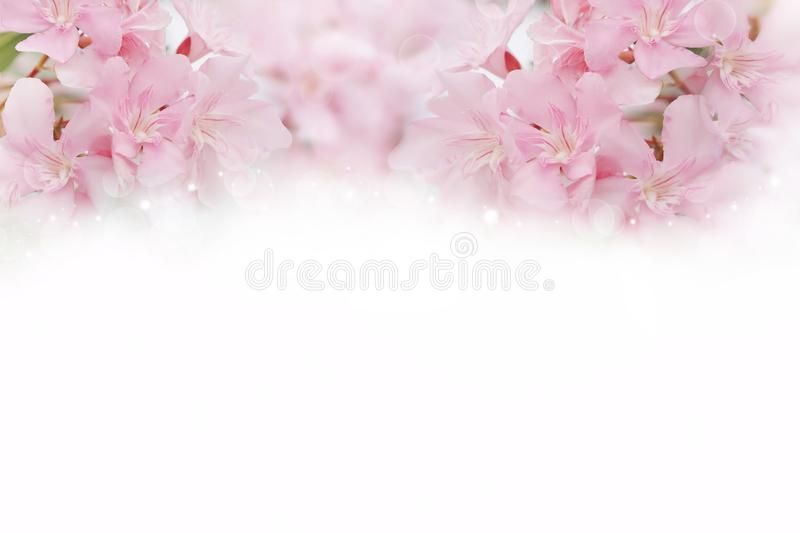 Pink spring flowers on white background with copy space for text royalty free stock photography