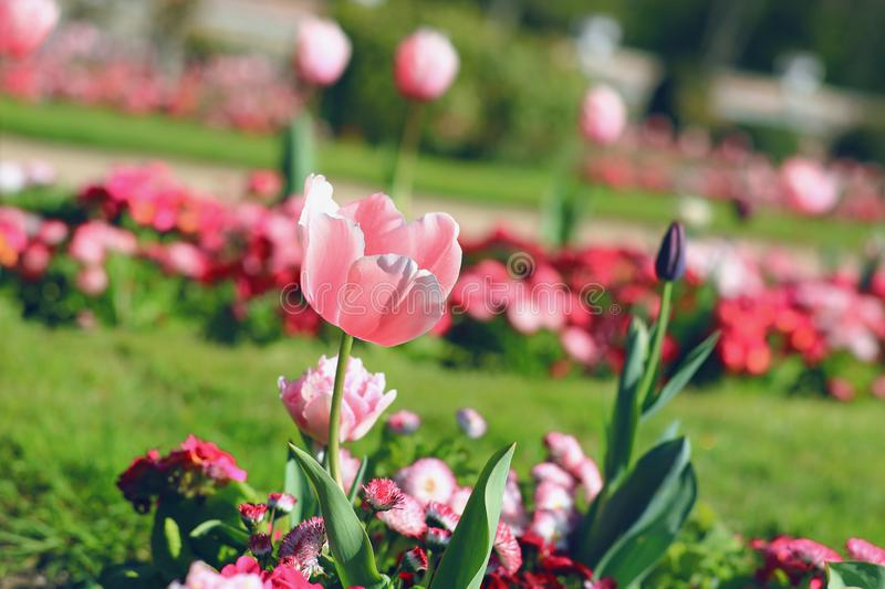 Pink spring Tulip in the Park. Fragrance stock image