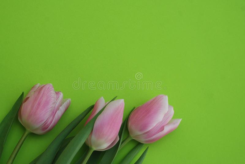Download Pink Spring Tulips Over A Green Background, In A Flat Lay Composition With Copy Space. Spring Flowers. Stock Photo - Image of blooming, leaf: 111619060