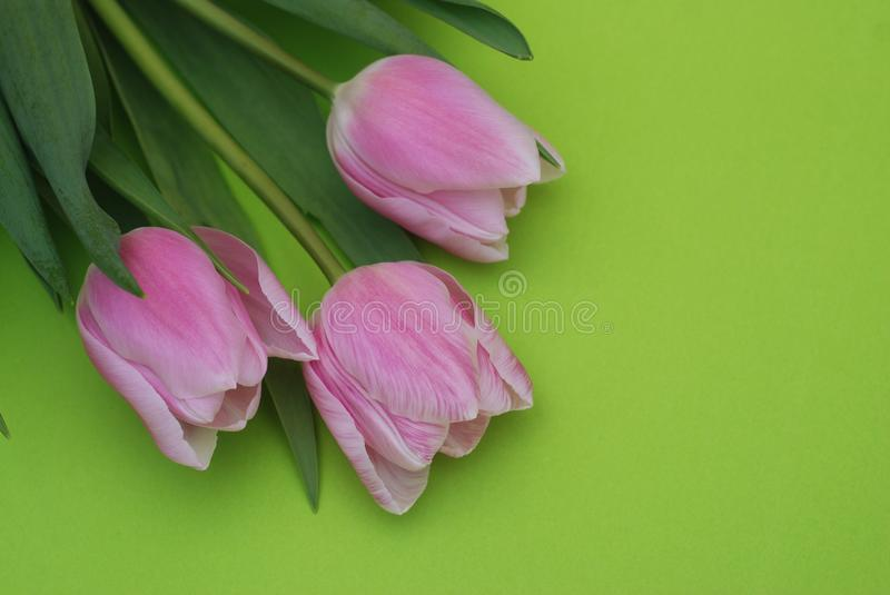 Download Pink Spring Tulips Over A Green Background, In A Flat Lay Composition With Copy Space. Spring Flowers. Stock Photo - Image of celebration, holiday: 111619066