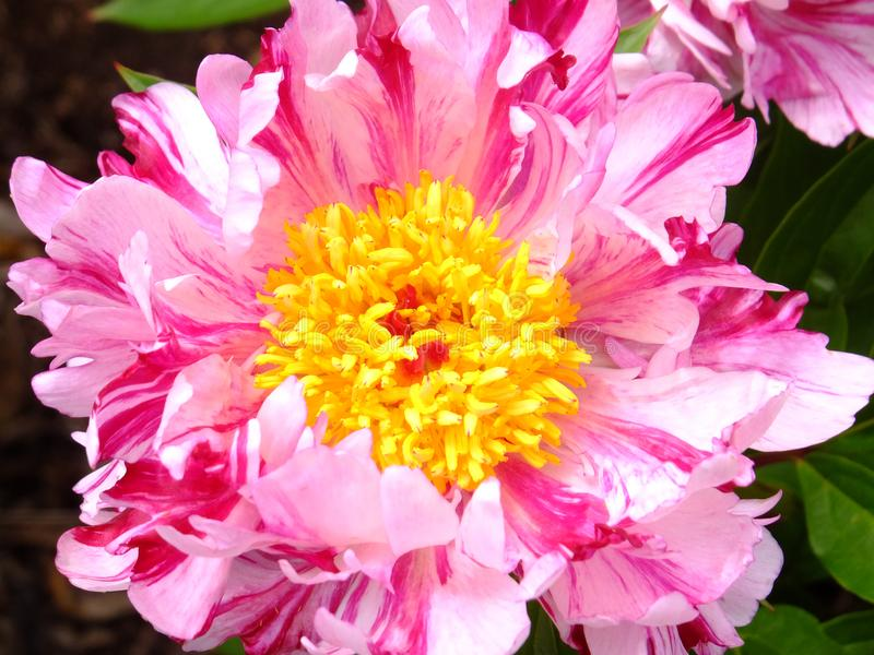 Pink Spritzer. Single pink peony close up, flowering in mid season royalty free stock photo