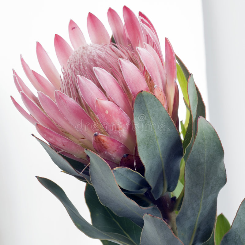 Pink square Pincushion protea royalty free stock photography
