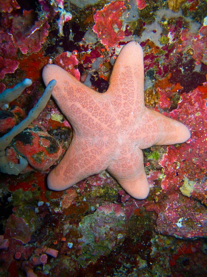 Pink starfish. A pink starfish in the ocean stock photos