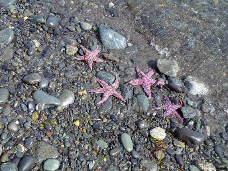 Pink starfish on stony beach royalty free stock photo