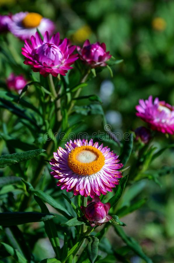 Pink straw flower or Everlasting for blur background in garden royalty free stock photo