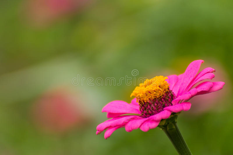 Pink Straw flower stock photography
