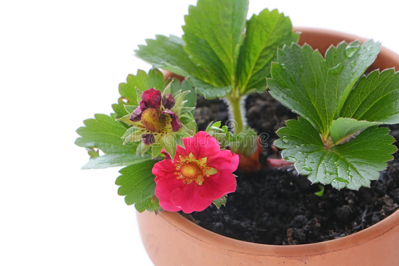 Pink strawberry plant stock photo image of flower plant 72679518 download pink strawberry plant stock photo image of flower plant 72679518 mightylinksfo