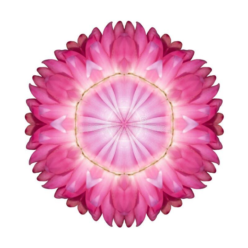 Pink Strawflower Flower Kaleidoscope Isolated on White royalty free stock photography