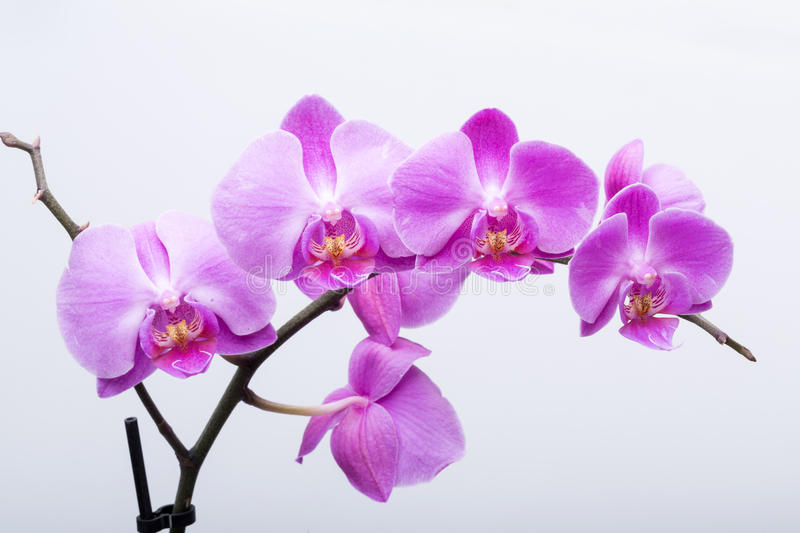 Pink streaked orchid flower, isolated on white background royalty free stock photography