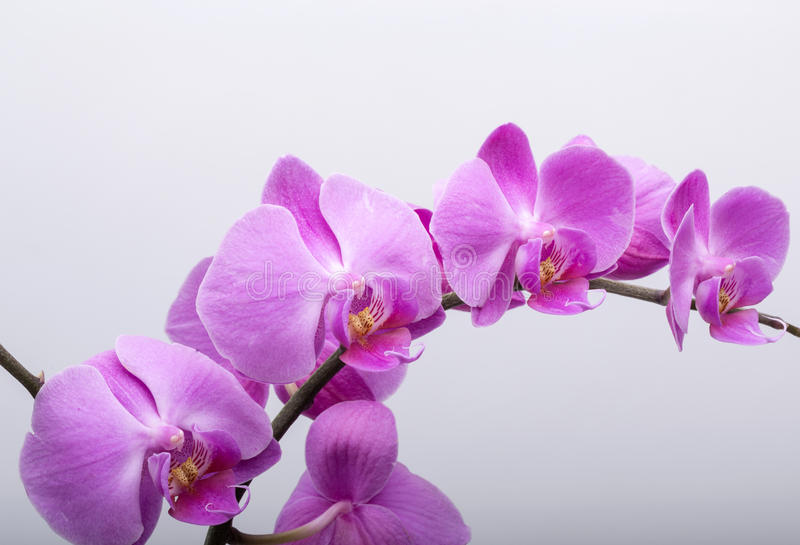 Pink streaked orchid flower, isolated on white background stock photo