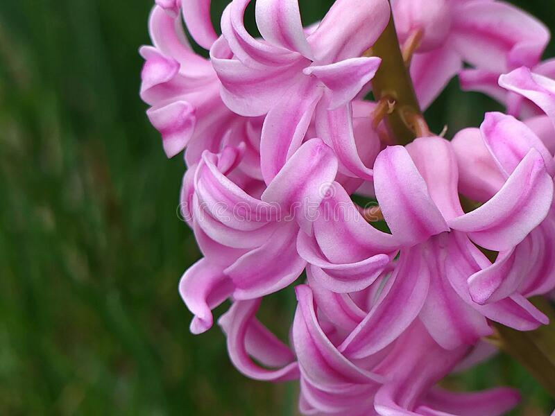 Close up Pink Striped Hyacinth Flowers in Full Bloom. Pink, striped Hyacinth flowers in full bloom in Spring. A gardener`s delight. Hyacinthus orientalis. The stock images