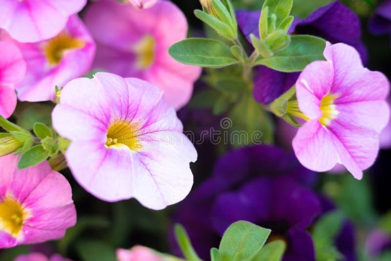 Pink PETUNIAS in the garden stock photos