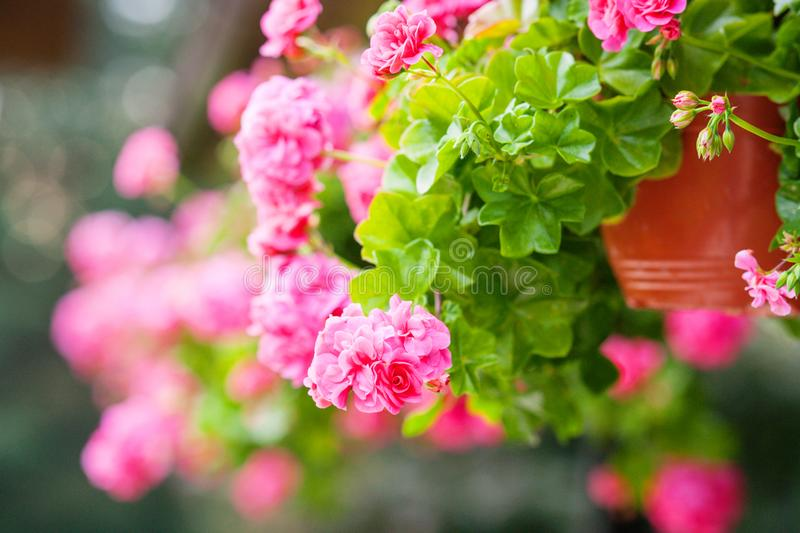 Pink summer flowers in a pot. Pink summer flowers in a brown pot hanging outside ,summerday and sunshine stock images