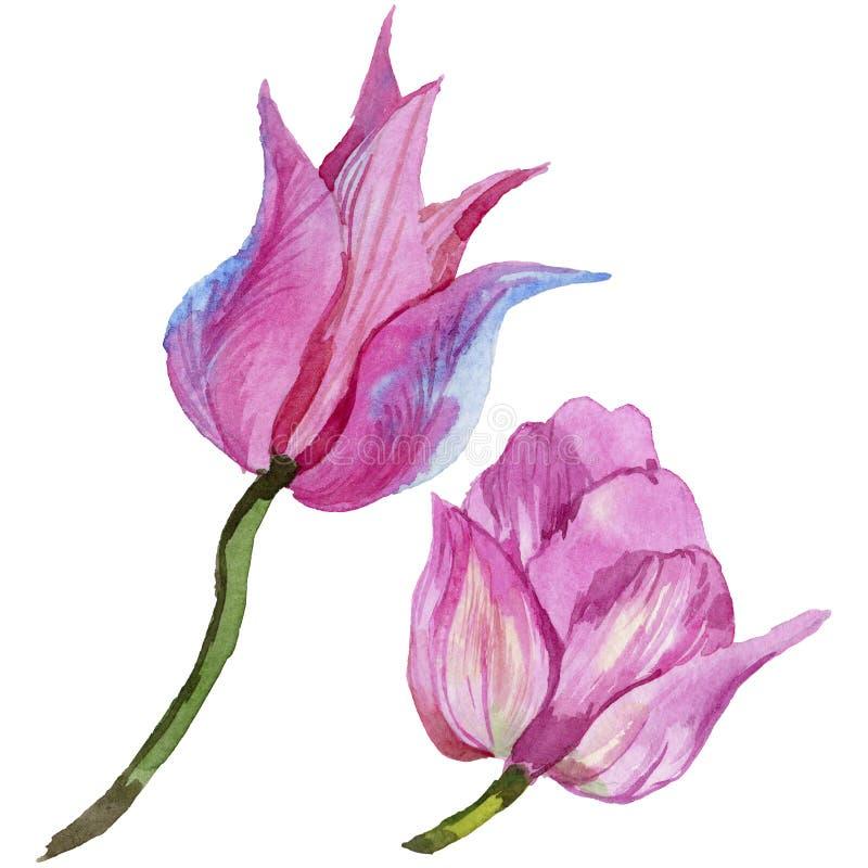 Pink summer tulip. Floral botanical flower. Wild spring leaf wildflower isolated. Aquarelle wildflower for background, texture, wrapper pattern, frame or vector illustration