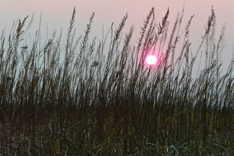 Pink sunset sun in a misty gray sky between the stems of dry brown grass stock image