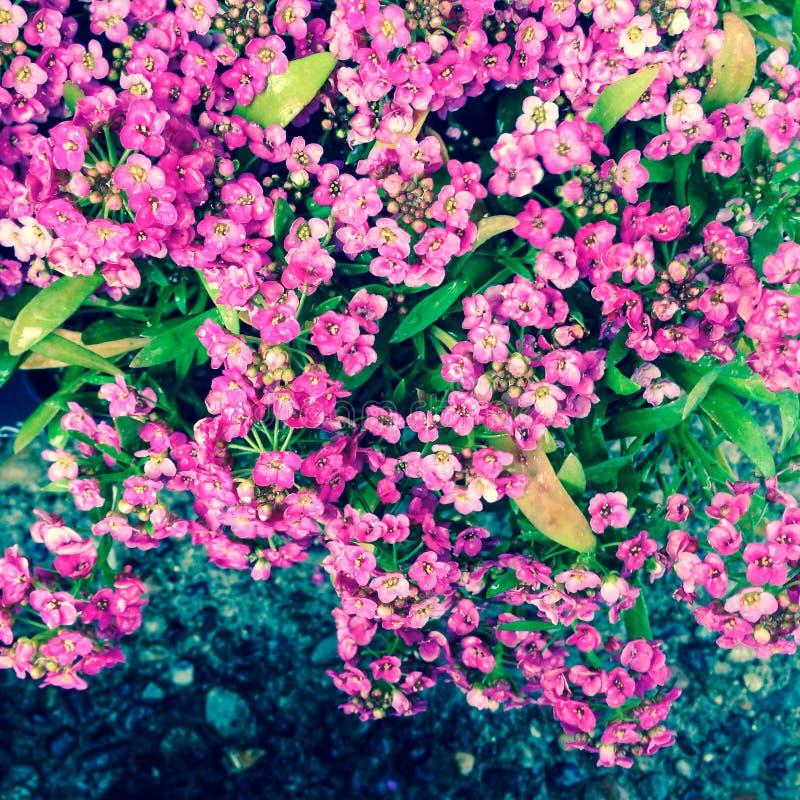 Pink Sweet Alyssum Free Public Domain Cc0 Image