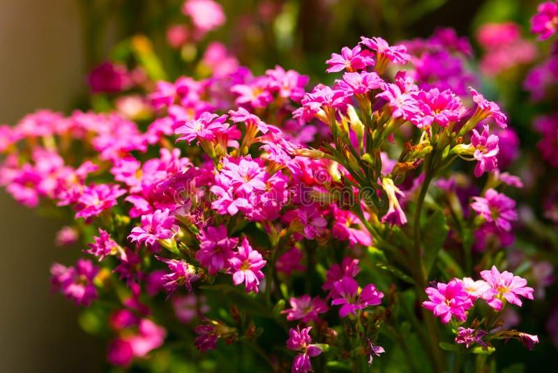 Pink Sweet Alyssum. (Lobularia maritima royalty free stock photo