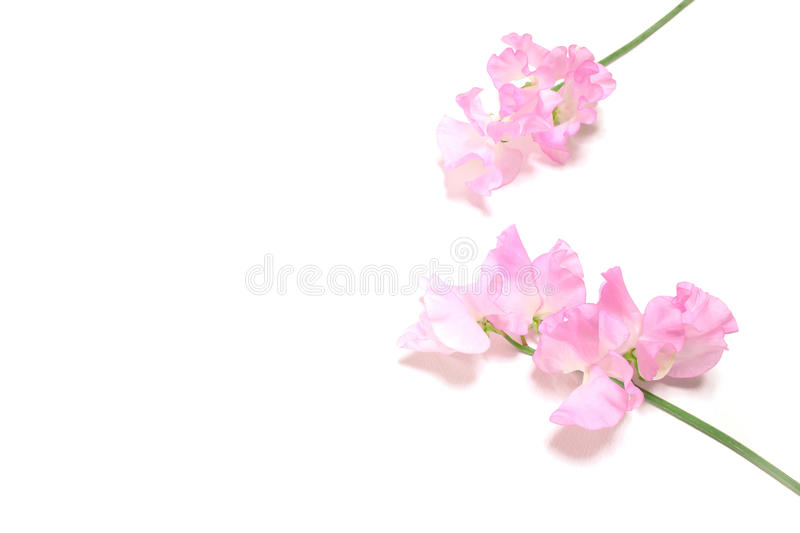 Pink sweet pea flowers in white stock photo image of freshness download pink sweet pea flowers in white stock photo image of freshness floral mightylinksfo Gallery