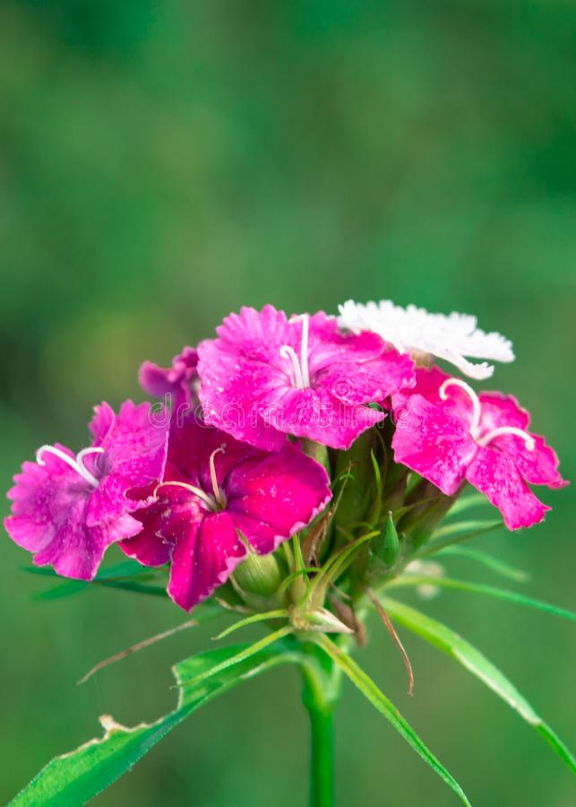 Sweet William Flower. Pink Sweet William flower at. Dianthus barbatus on a green background royalty free stock image