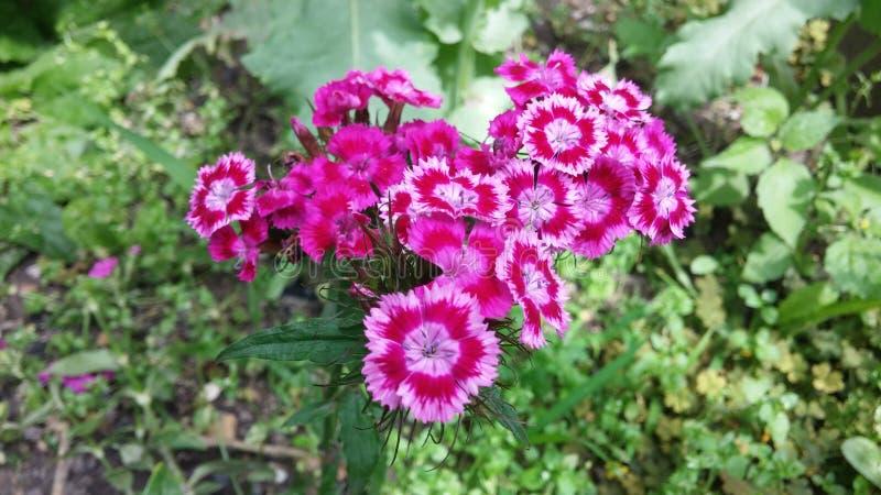 Pink Sweet William - Summer garden flowers royalty free stock image