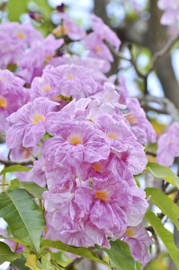 Free Pink Tabebuia Rosea Royalty Free Stock Image - 26088776