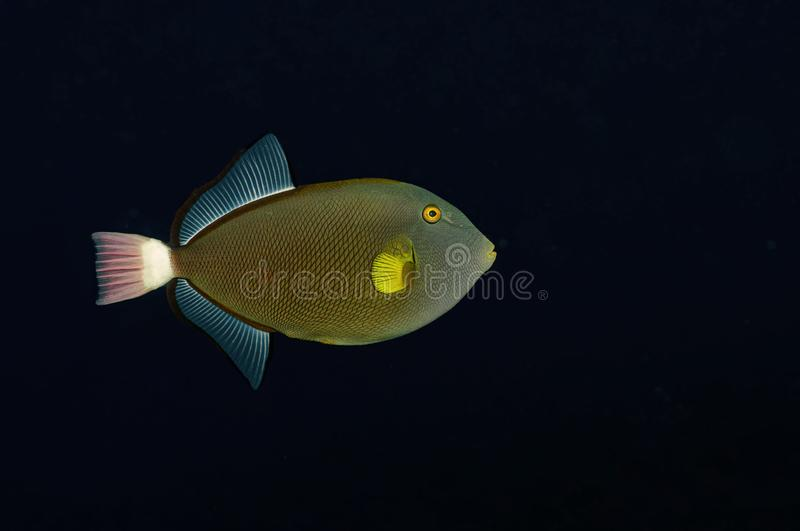 Pink Tail Trigger Fish stock foto's