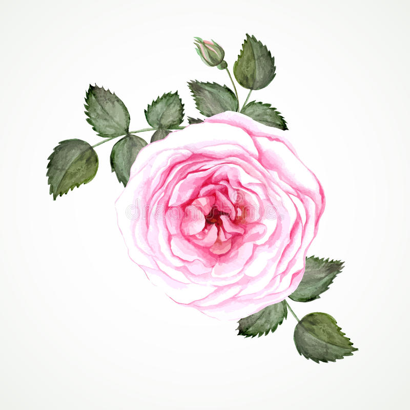 Pink tea rose. Blossom with leaves and bud. Watercolor image stock illustration