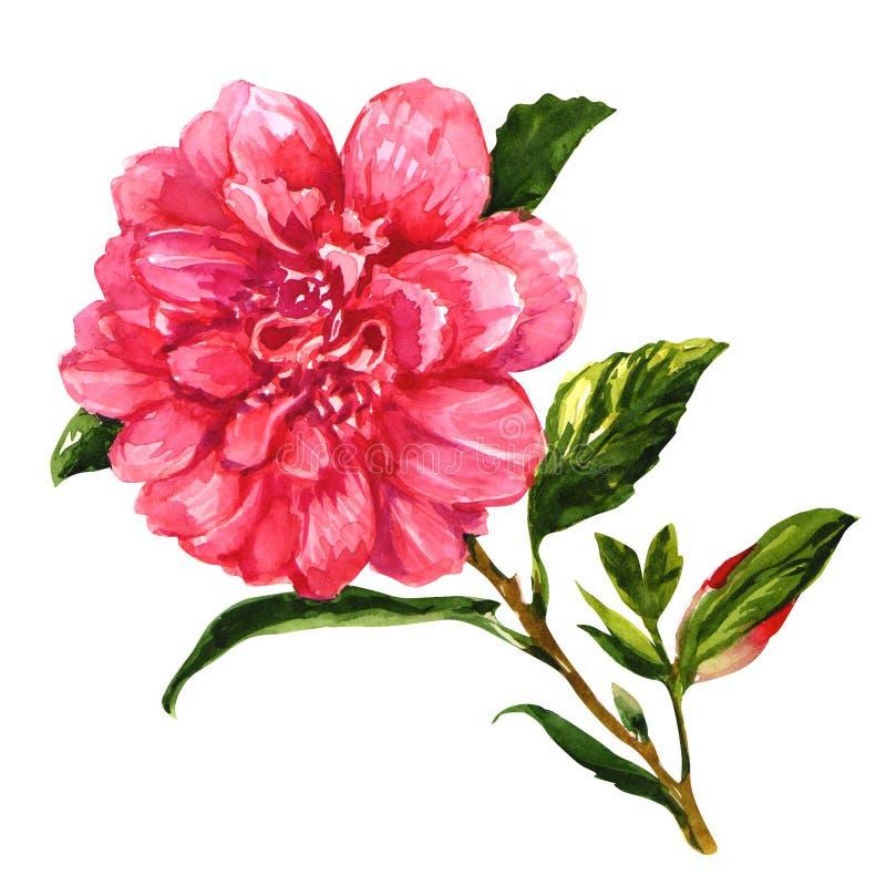 Pink tea rose isolated on white background. Pink tea rose isolated, watercolor painting on white background stock illustration