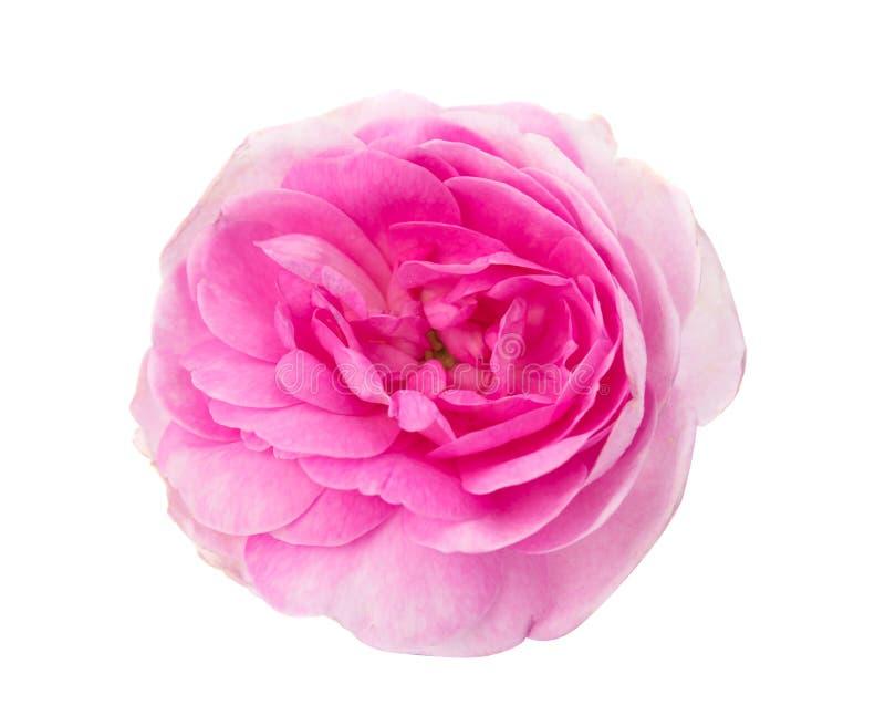 Pink tea rose royalty free stock image