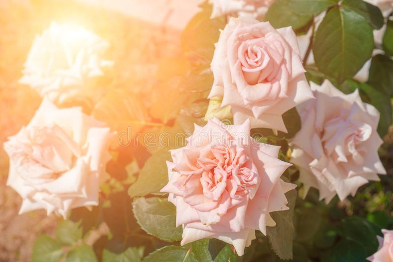 Pink tea roses against the bright sun. Toned. Summer royalty free stock photography