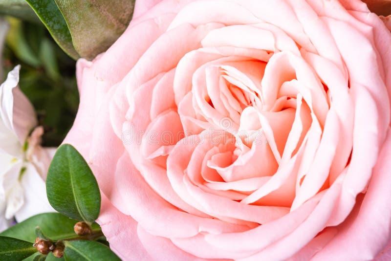 Pink tender elegant flower rose with green leaves close up stock images